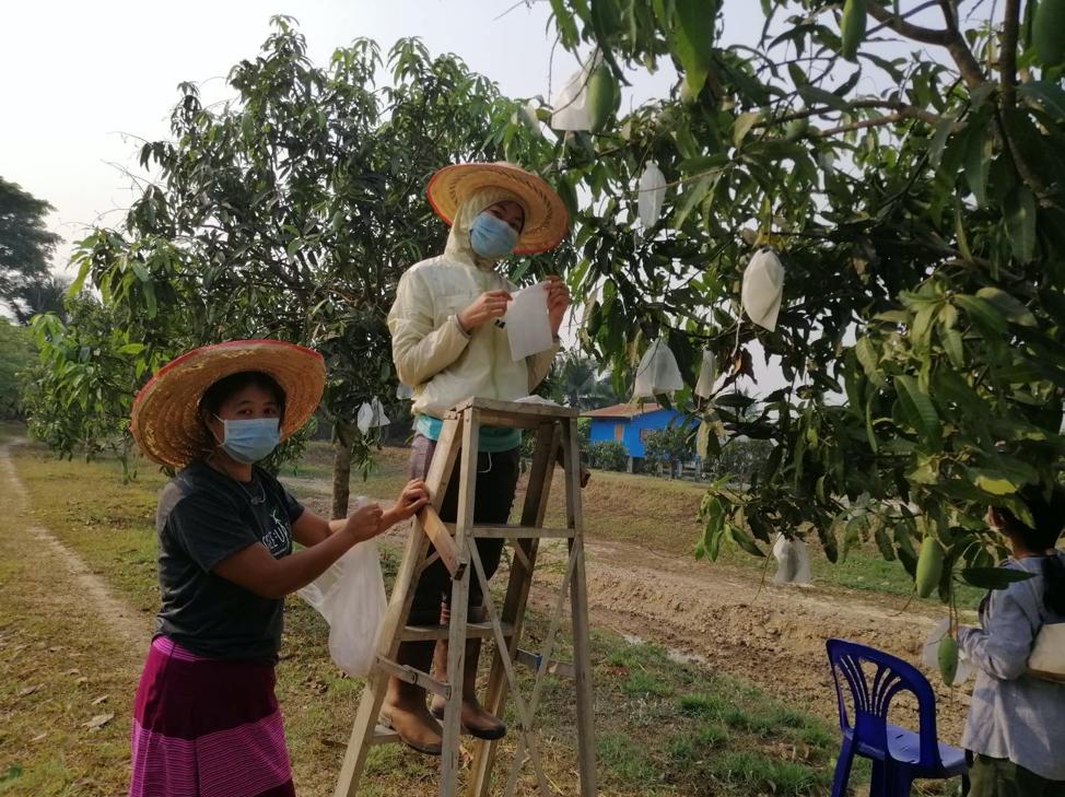 Mango Masks